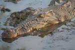 Coccodrillo crocodil - Maschio ( (13 anni))