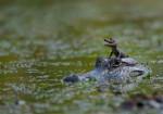 Coccodrillo Yupie - Maschio ( (1 mese))