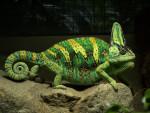 Coccodrillo Crocoquette - ( (1 anno))