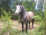 Cavallo Boris - Maschio ( (4 anni))