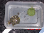 Tartaruga Silver - ( (2 anni))